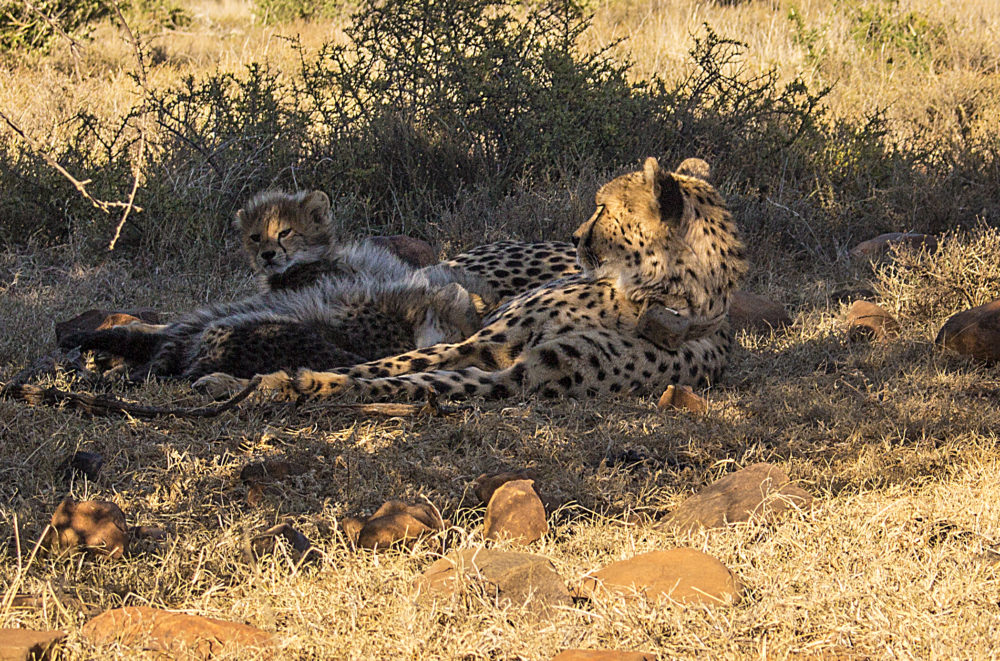 Chilli and cubs at Samara Private Game Reserve on My Lime Boots