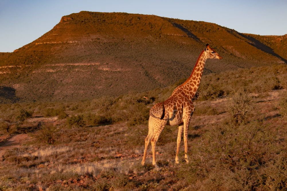 Giraffe at Samara Private Game Reserve on My Lime Boots