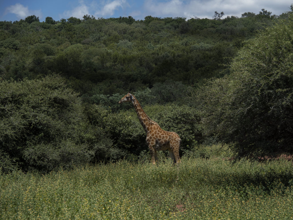 Giraffe at Tintswalo at Lapalala