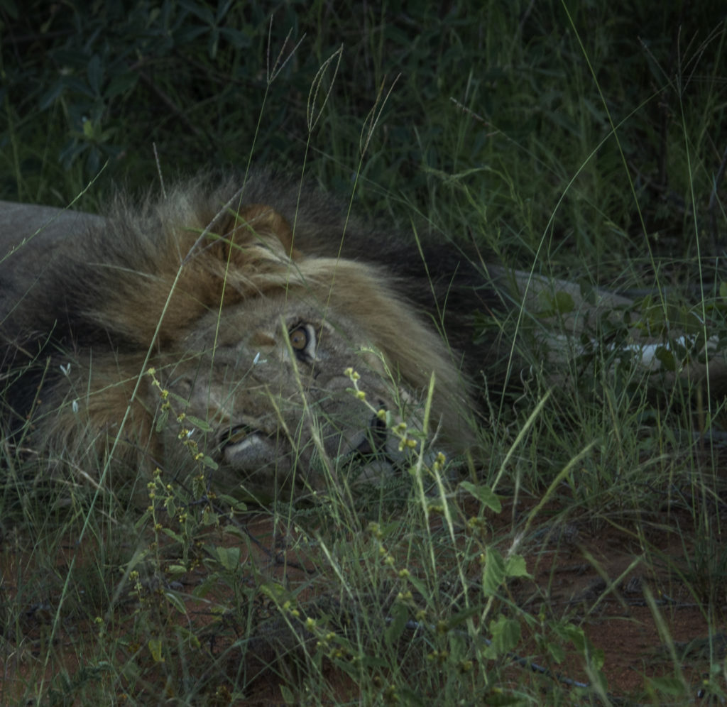 Male lion at Tintswalo at Lapalala