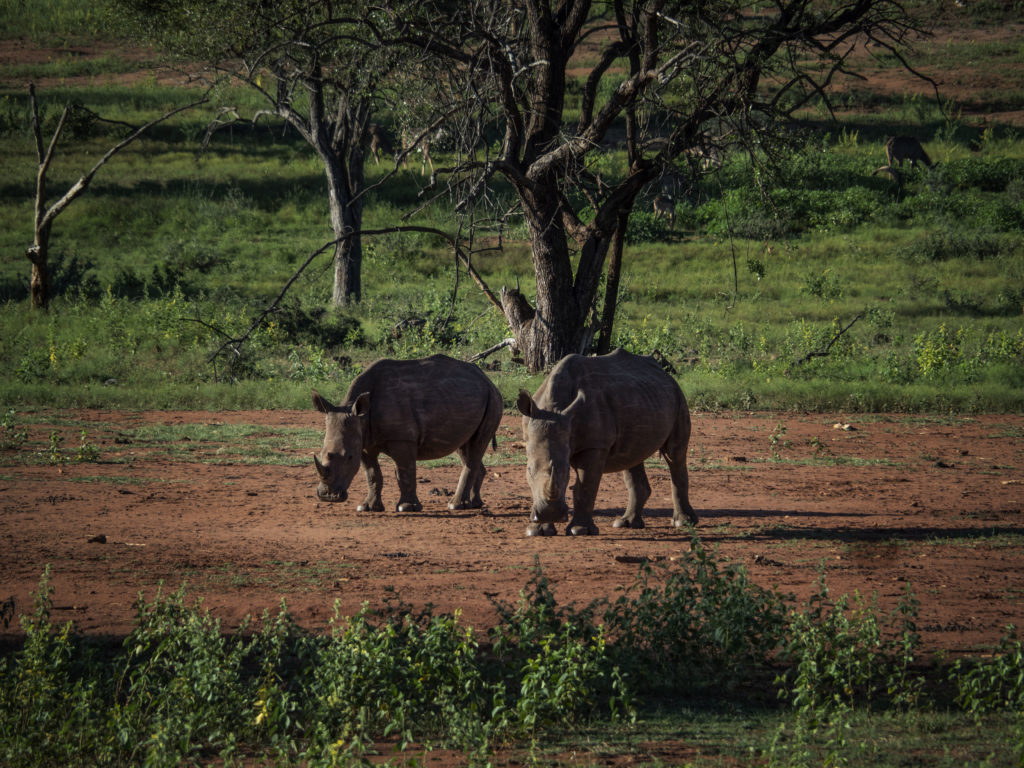 Rhino at Tintswalo at Lapalala